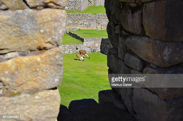 "two llamas through a window in machu picchu - ""markus daniel"" fotografías e imágenes de stock"