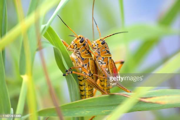 two locusts - tierpaarung stock-fotos und bilder