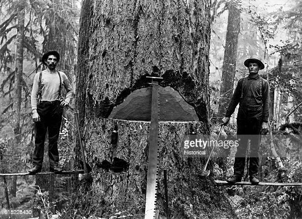 Two loggers pose on springboards inserted into a Douglas fir show off the undercut they have made Mason County Washington