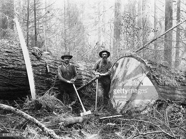 Two loggers stand near giant felled Douglas fir logs One man's job is 'bucking' the logs or sawing them into sections while the other 'snipes' or...