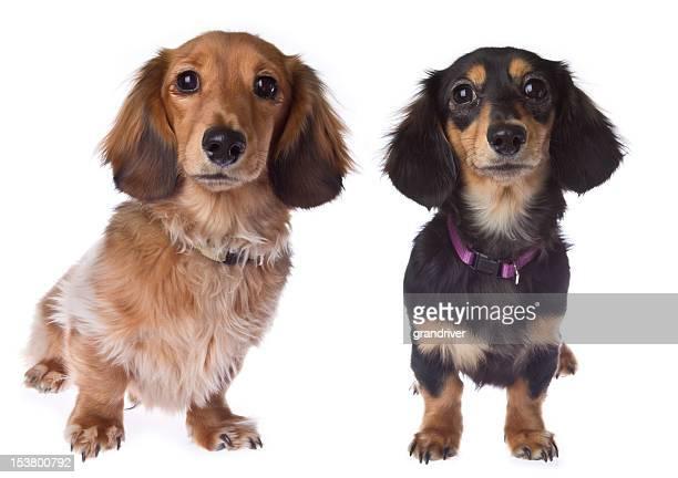 Two Long Hair Dachshund Puppies