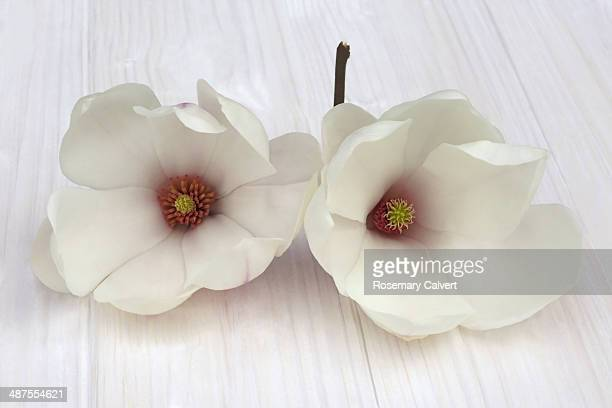 Two lovely open white magnolia flowers