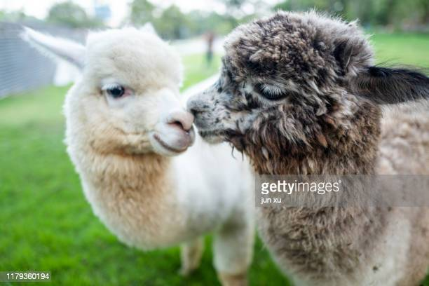 two lovely sheep full of affection - llama stock pictures, royalty-free photos & images