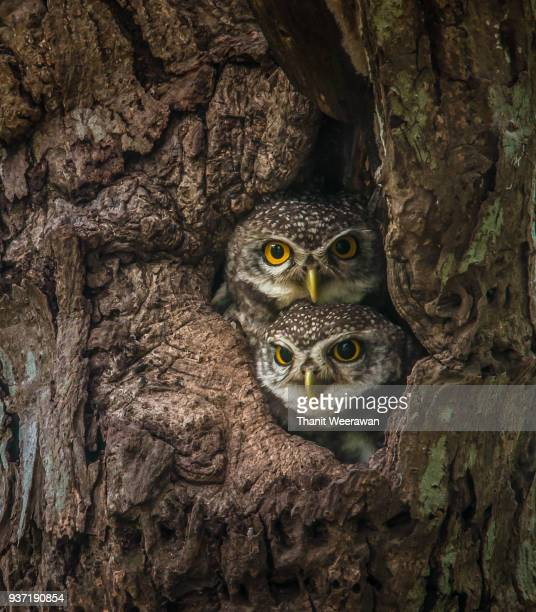 two lovely spotted owlet - animal eye stock pictures, royalty-free photos & images