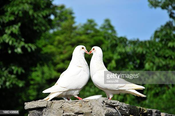 two loving white doves - bird stock photos and pictures