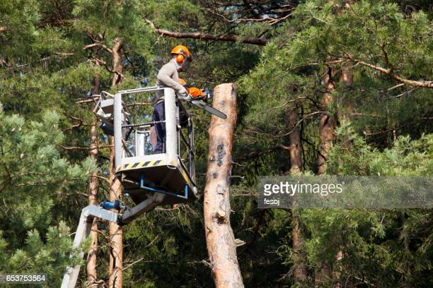 two lumberjacks cut down a tree on the platform - picking up stock pictures, royalty-free photos & images