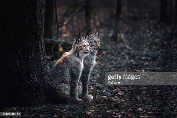 two lynx in woods - dark panthera stock pictures, royalty-free photos & images