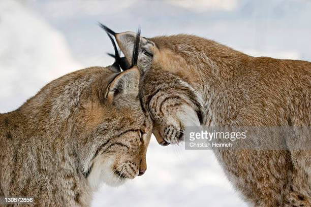 two lynxes in love in winter - european lynx - lynx stock photos and pictures