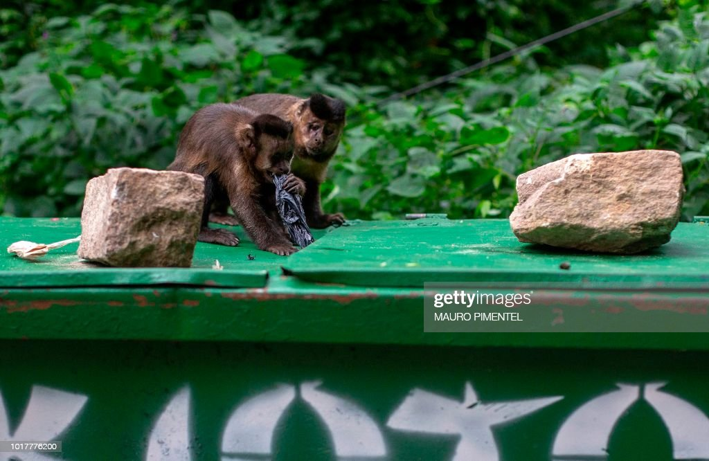Two Macaco Prego Monkies Try To Open A Garbage Container At The News Photo Getty Images Explore the latest #monkistyle and get your hands on the fashion pieces you'll love. https www gettyimages ae detail news photo two macaco prego monkies try to open a garbage container at news photo 1017776200
