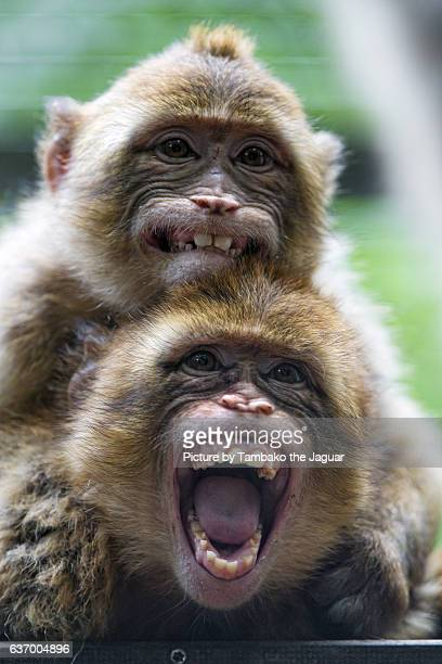 two macaques on top of each other - funny monkeys stock pictures, royalty-free photos & images