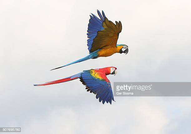 Two Macaws In Flight