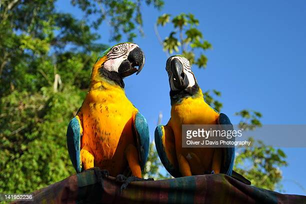 two macaws on roof of canoe on amazon river - river amazon stock pictures, royalty-free photos & images