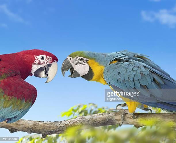 two macaws perched face to face on a branch, against a blue sky - becco foto e immagini stock