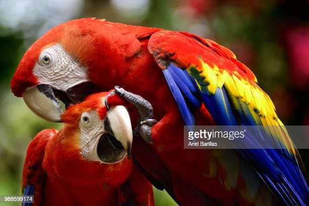 two macaws ! - honduras fotografías e imágenes de stock