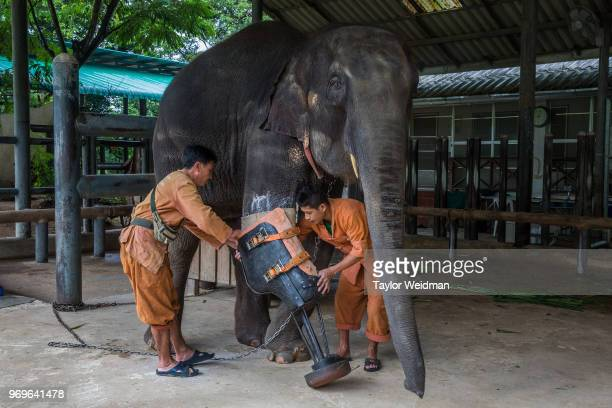 Two mahouts put a prosthetic leg on Motala at the Friends of the Asian Elephant hospital in Lampang Thailand Mosha is one of over a dozen elephants...