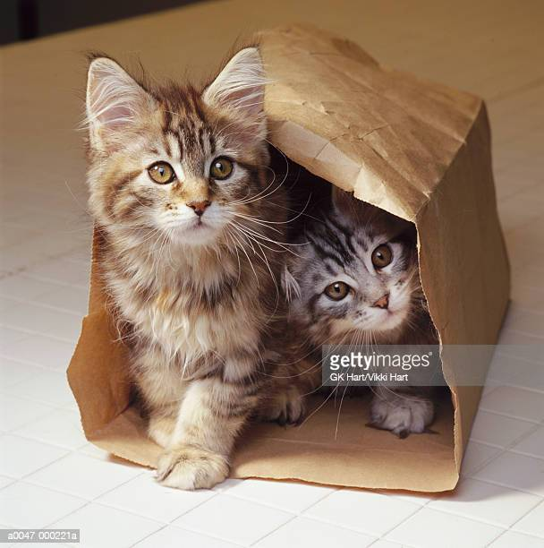 two maine coon kittens in bag - maine coon cat stock pictures, royalty-free photos & images