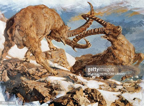 Two male Alpine ibex fighting Bovidae drawing