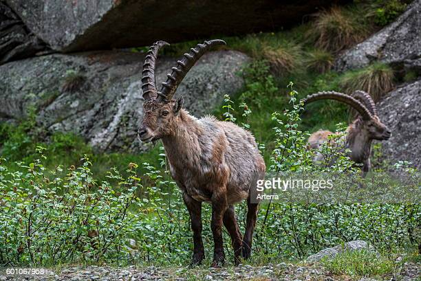 Two male Alpine ibex foraging among shrubs in the Alps in spring