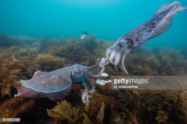 two male australian giant cuttlefish fighting for dominance to see who will mate, whyalla, south australia. - ilha netuno - fotografias e filmes do acervo