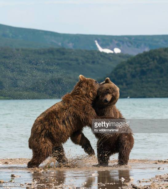 Two male brown bears fighting for dominance at the shores of Kuril Lake, Kamchatka, Russia.