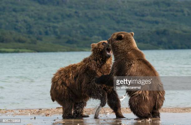 two male brown bears fighting for dominance in the river systems of kuril lake, kamchatka, russia. - omnívoro fotografías e imágenes de stock
