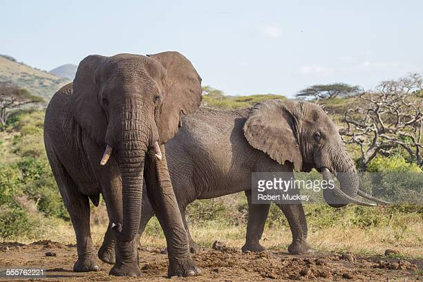 Two male elephants