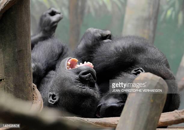 Two male gorillas are seen in the enclosure 'Gorilla's Camp' at the Amneville zoo eastern France on April 04 2012 Ya Kwanza a silverback gorilla male...