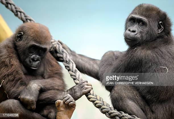 Two male gorillas sit in the enclosure 'Gorilla's Camp' at the Amneville zoo eastern France on April 04 2012 Ya Kwanza a silverback gorilla male also...