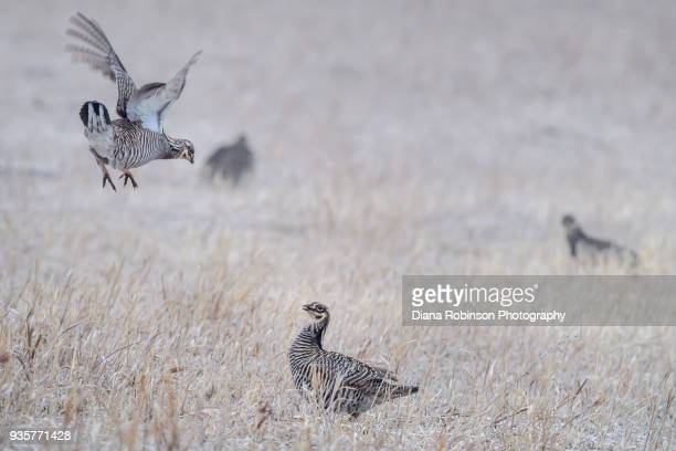 Two male Greater Prairie Chickens fight for dominance at the Lek on Switzer Ranch near Burwell, Nebraska