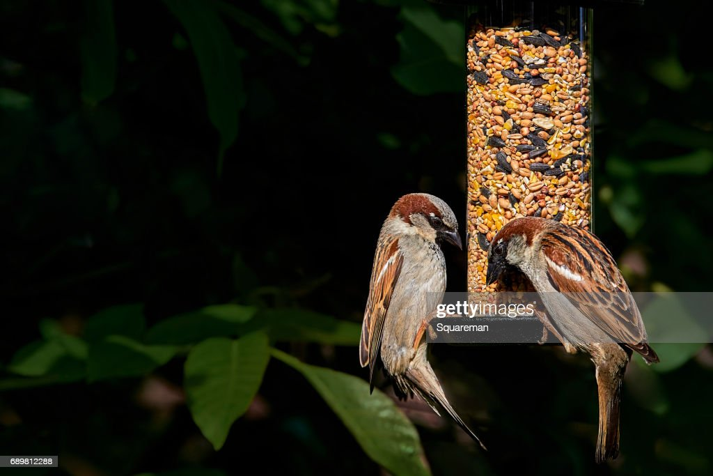 Two male house sparrows (passer domesticus) on a garden seed feeder : Stock Photo