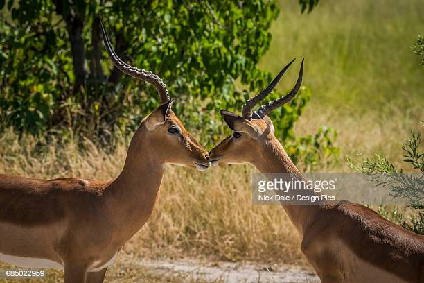 Two male impalas (Aepyceros melampus) touching noses on savannah