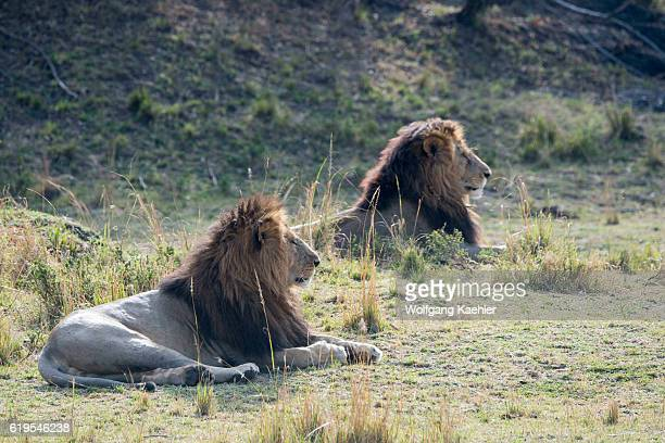 Two male lions are laying in the grassland of the Masai Mara National Reserve in Kenya