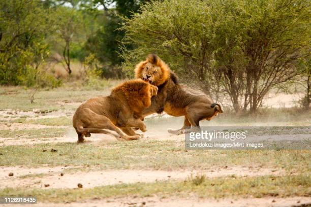 two male lions, panthera leo, fighting in a clearing, snarling and picking up dust from the ground, trees and bushes in the background - mannetjesdier stockfoto's en -beelden