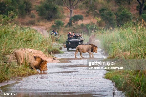 two male lions, panthera leo, walk across a shallow river, one crouching drinking water, two game vehicles in backgrounf carrying people - republik südafrika stock-fotos und bilder