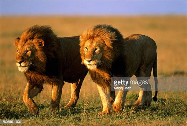 two male lions (panthera leo) walking across plain, kenya - male animal stock photos and pictures