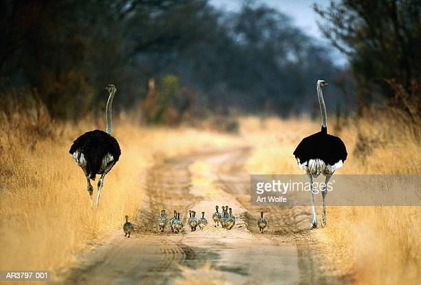 Two male ostriches (Struthio camelus) with chicks, Botswana