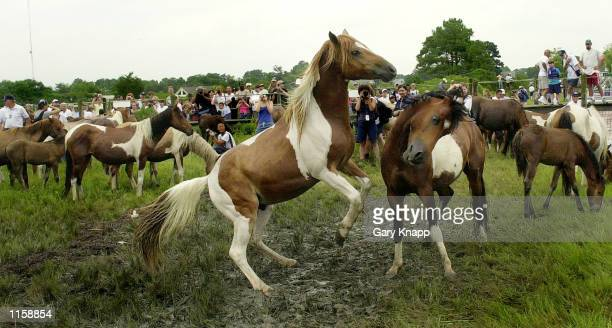 Two male ponies tussle as the herd gathers on the beach after swimming from neighboring Assateague Island July 25 2002 on the island of Chincoteague...