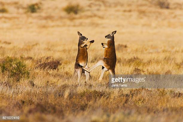 two male red kangaroos play fighting and kicking with their back legs - mammal stock pictures, royalty-free photos & images