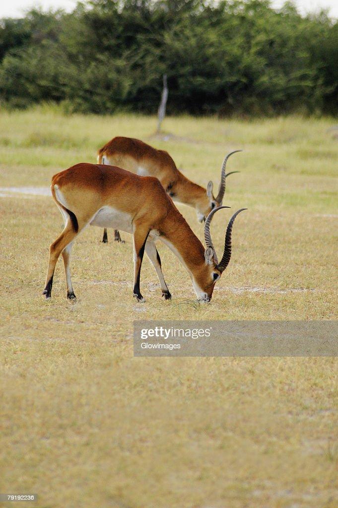 Two male Red lechwes (Kobus leche) grazing in a field, Okavango Delta, Botswana : Stock Photo