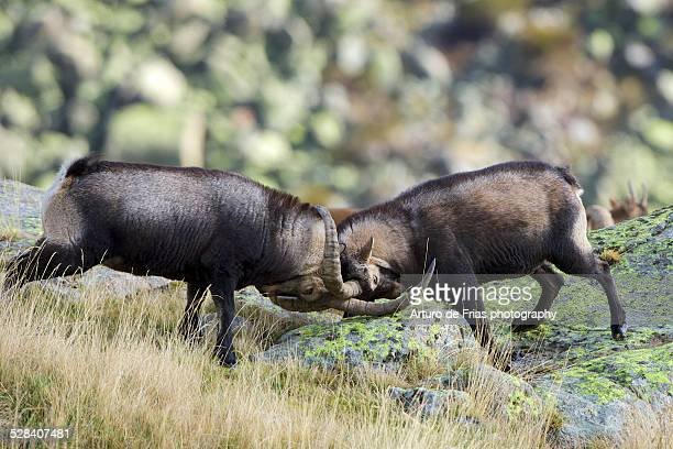 two male spanish ibex fighting - iberian stock photos and pictures