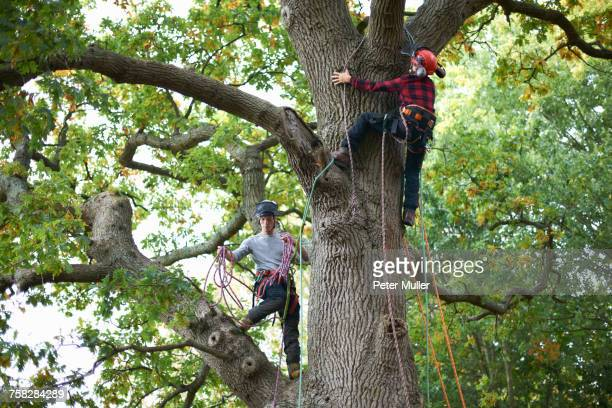 Two male trainee tree surgeons climbing up tree trunk