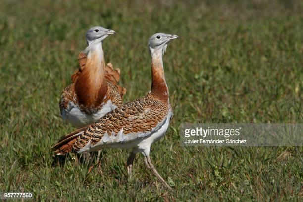 Two males of great bustard (Otis tarda).