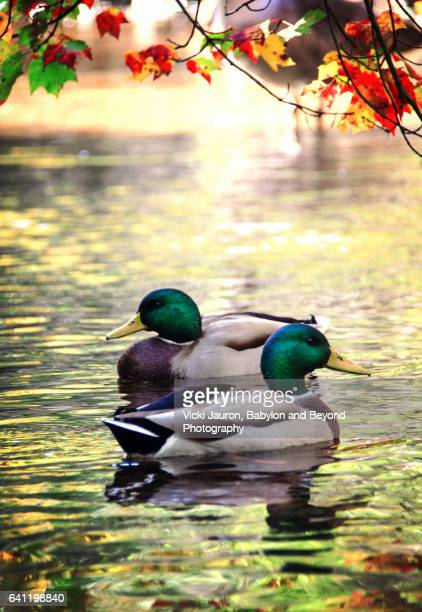 Two Mallards Against Fall Scene at Southards Pond, Babylon, Long Island