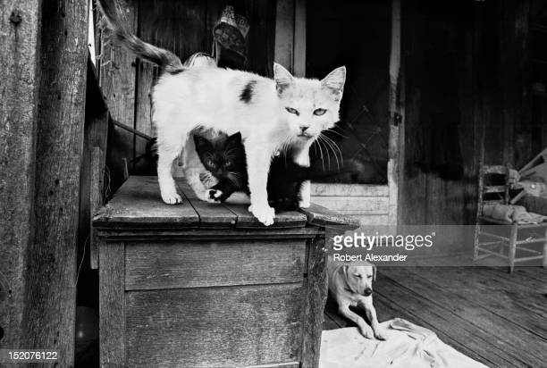 Two malnourished cats and a dog live as pets on the back porch of a ramshackle house in rural Appalachia 5104602RA_Appalachia39jpg