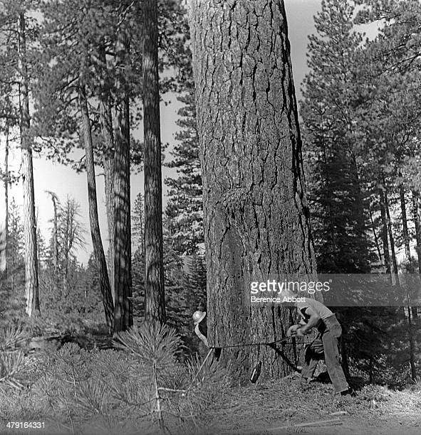 Two man crew begin first cuts on tree United States circa 1950 Abbott took two series of logging photographs the first in the High Sierra Mountains...