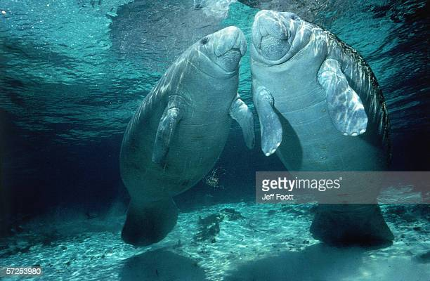 two manatees swim below surface of shallow blue water. trichechus manatus. - florida manatee stock pictures, royalty-free photos & images