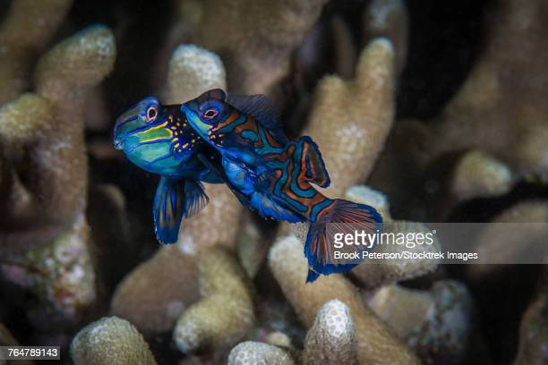 Two mandarinfish spawn and release eggs, Anilao, Philippines.