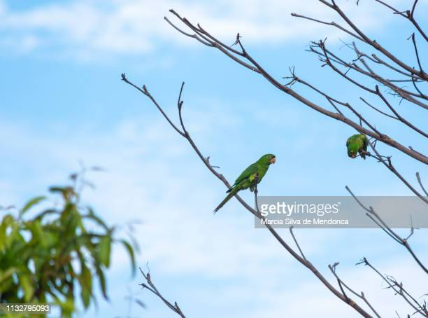 Two maracanã parrots, with green feathers, are perched on the dry branches.