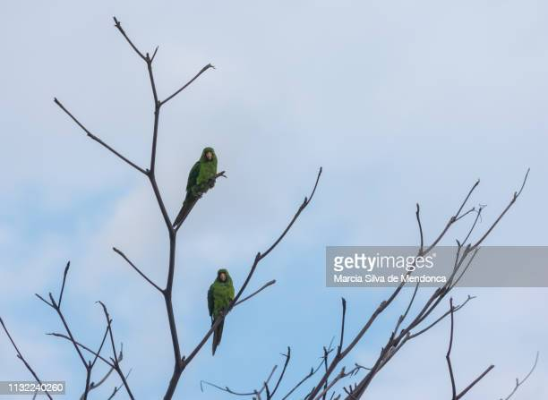 Two maracana parrots land, very similarly, on the dry branches.