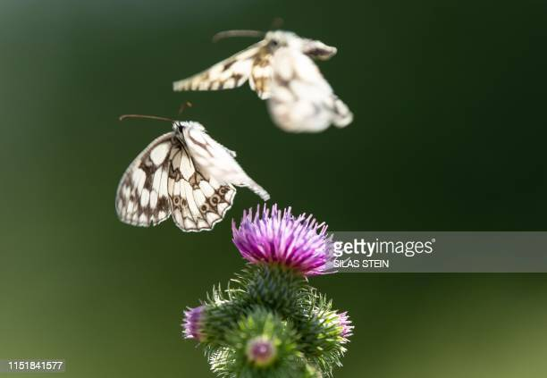 Two marbled white butterflies fly over the blossom of a thistle on June 25 2019 in Ruesselsheim western Germany / Germany OUT